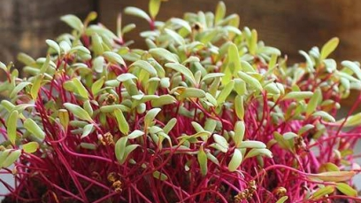 beet-detroit-dark-red-microgreens
